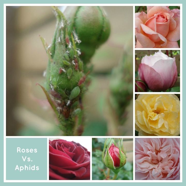 Roses Vs Aphids