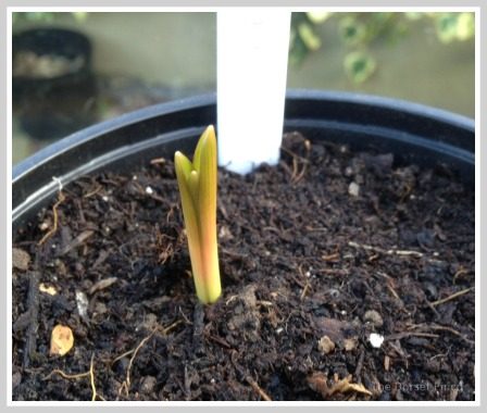 hyacinth sprout