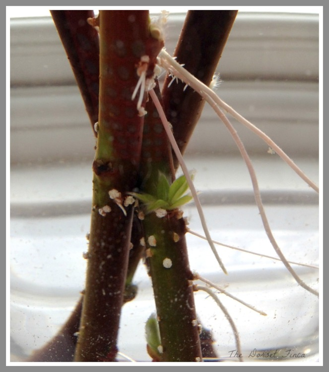 rooting willow