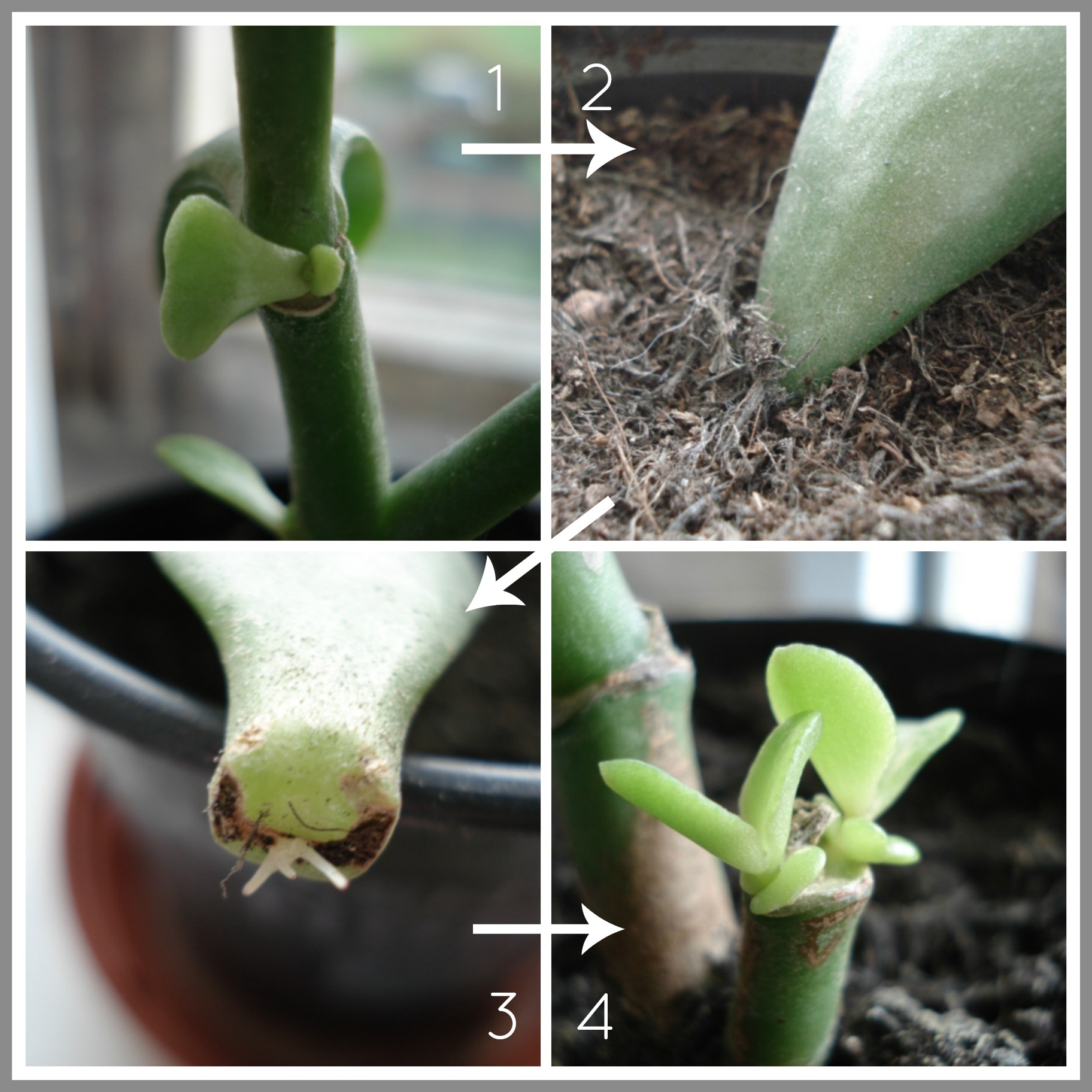 How to Grow a Jade Plant How to Grow a Jade Plant new pictures