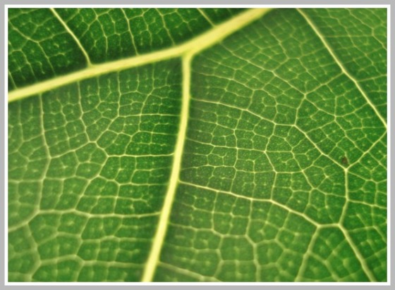 Fiddle-Leaf Fig Leaf