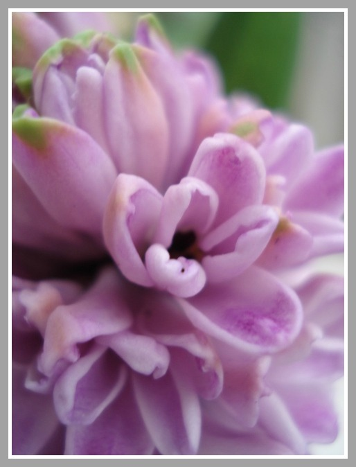 Hyacinth