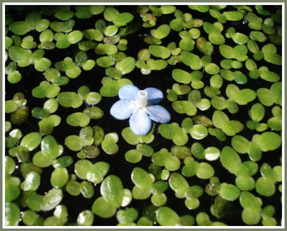 floating forget-me-not