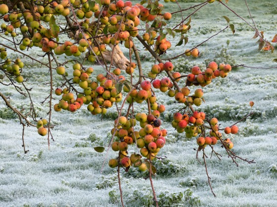 frosted apples