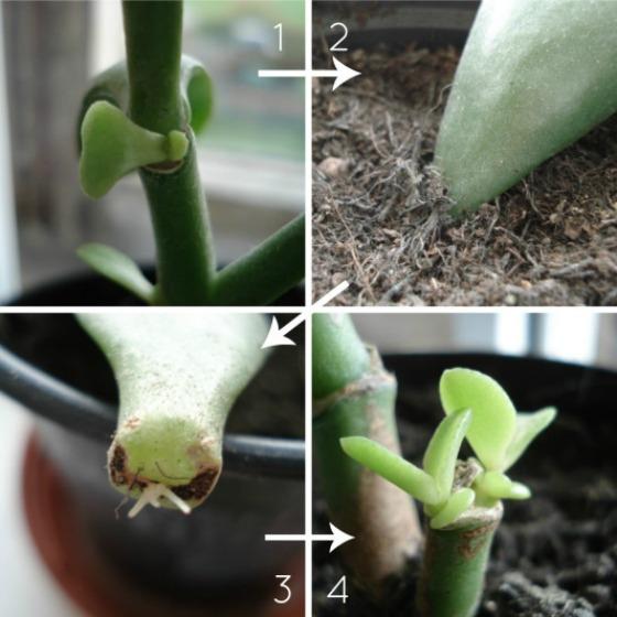 propagating-jade-plants2