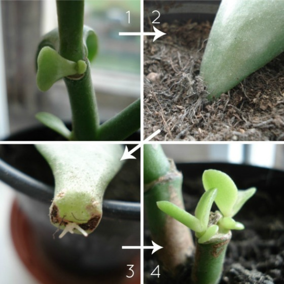 propagating-jade-plants2