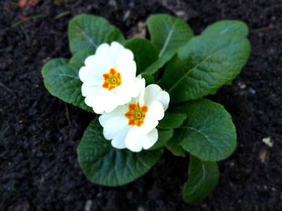 early primrose
