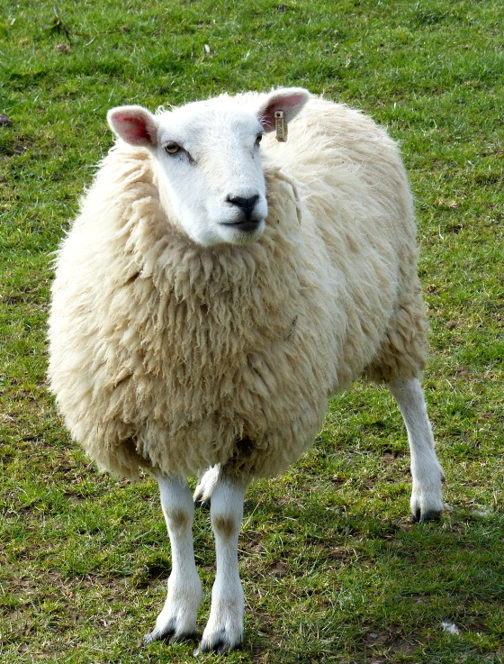 sheep with personality
