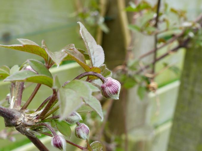 clematis montana flower buds 92kB