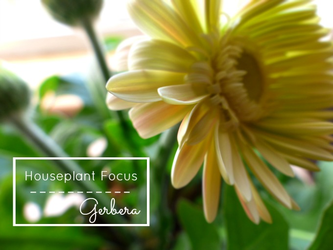 houseplant gerbera yellow flowers 81kB