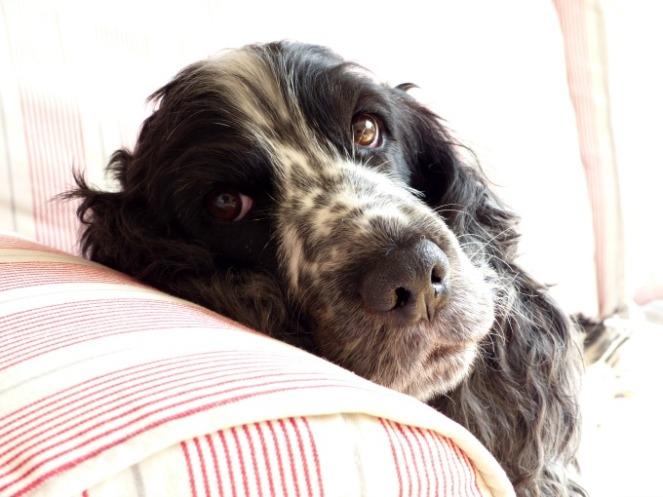 Maisie cocker spaniel