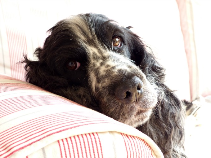 Maisie cocker spaniel