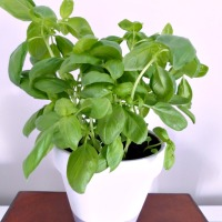 The Secret to Successfully Growing Supermarket Basil