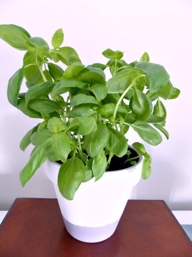 supermarket basil repotted in dip dye pot