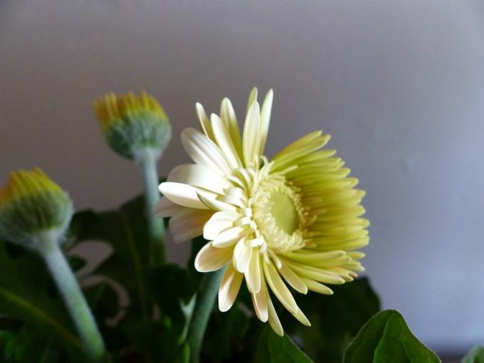 yellow gerbera flowers 73 kB