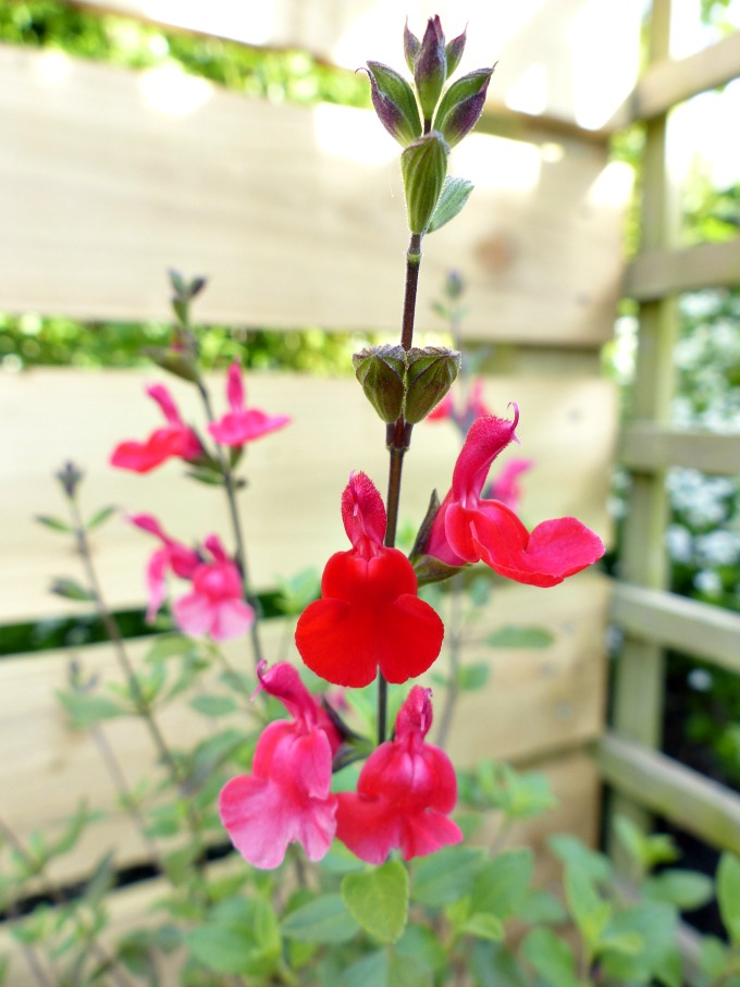 salvia hot lips flowers 123kB