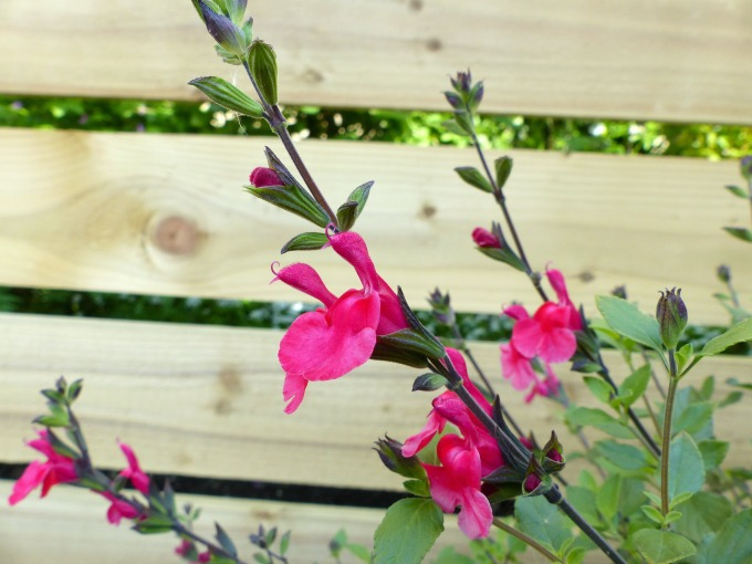 salvia hot lips in partial shade