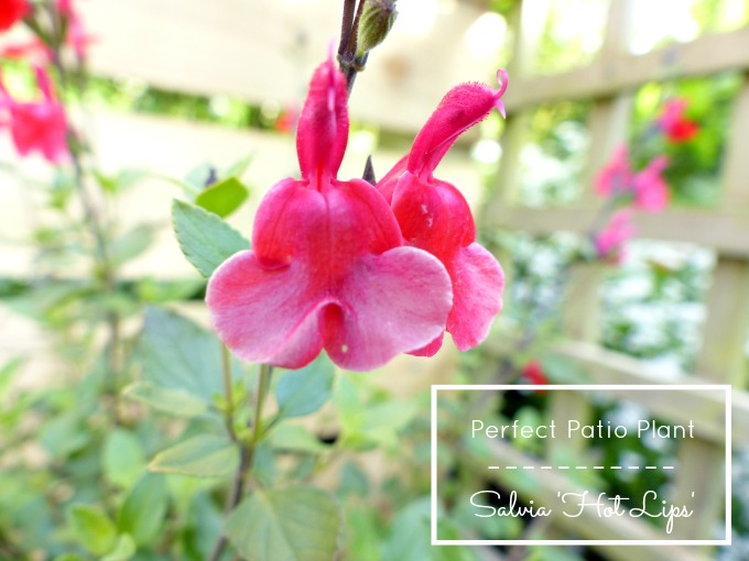 salvia hot lips patio plant 95kB