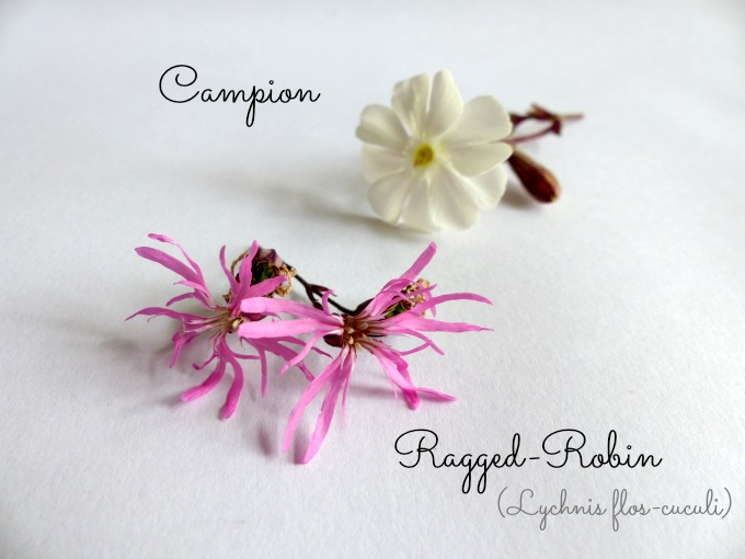 campion and ragged robin