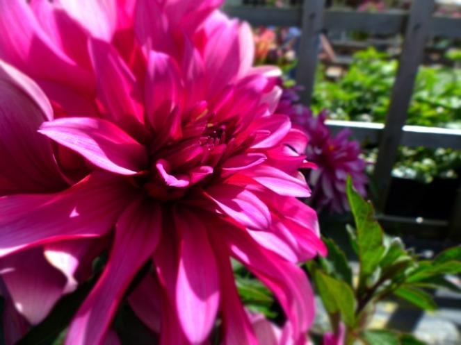 Dahlias from Cranborne Garden Centre