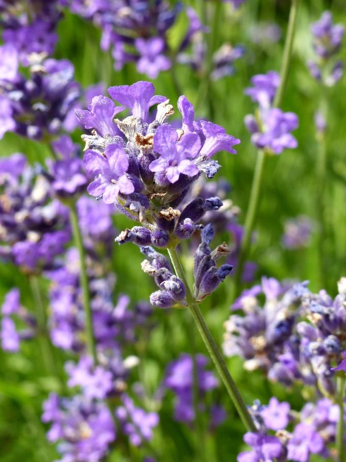lavender borders