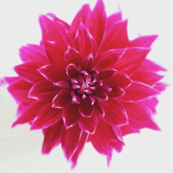 Waterlily dahlia