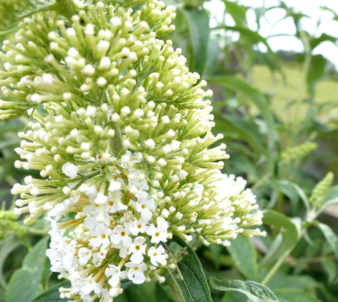 Buddleia white