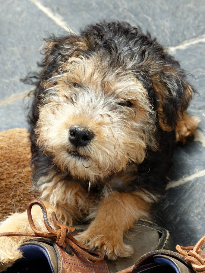 baby brinkley lakeland terrier