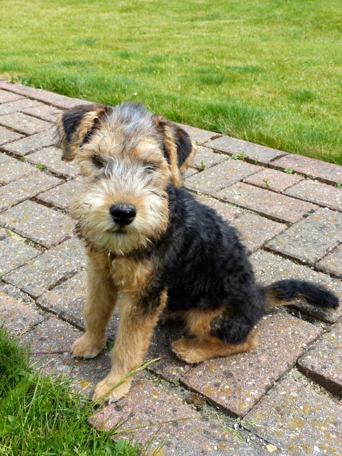 brinkley at 4 months lakeland terrier