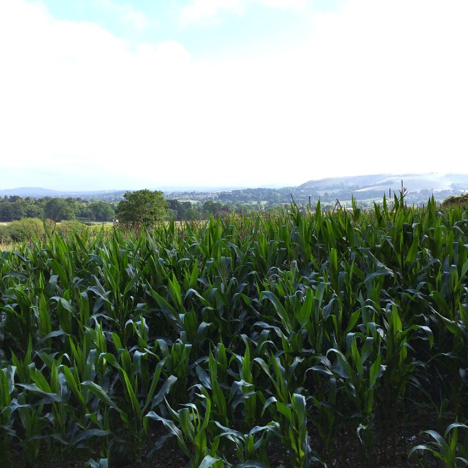 maize fields dorset