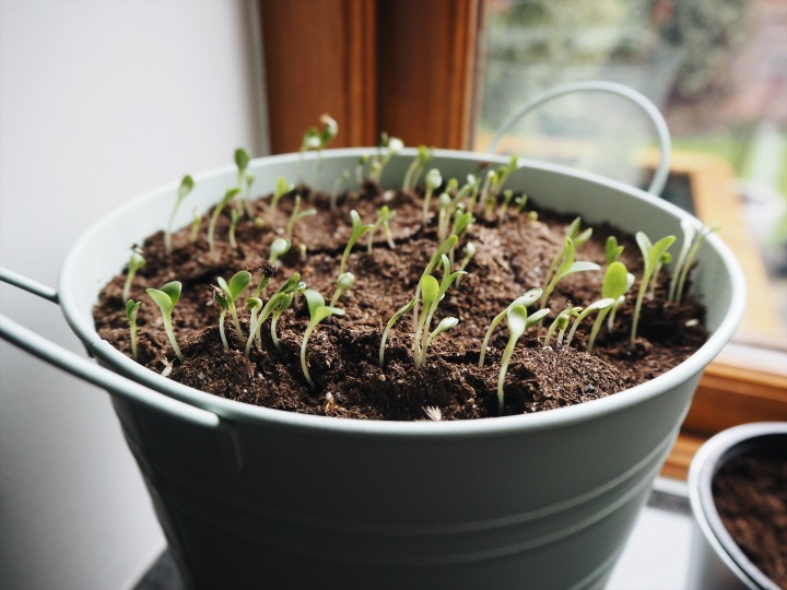 cornflower seedlings on my windowsill