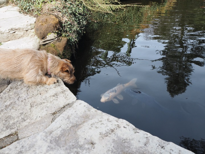 little dog and coi carp almost kissing