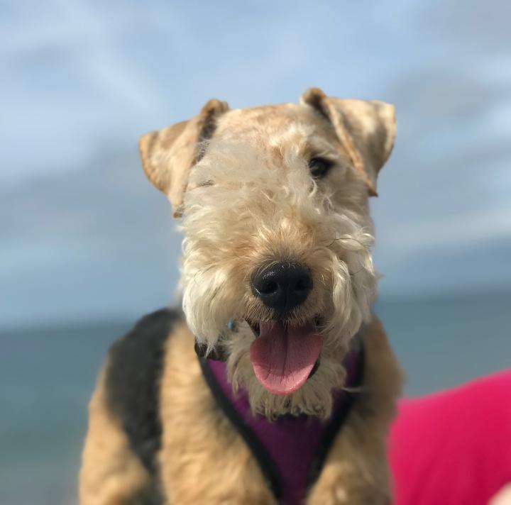 Lakeland terrier at the beach in Dorset